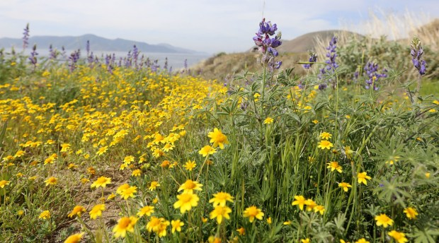 Wildflowers start to bloom along the Wildflower Trail at Diamond Valley Lake near Hemet on Wednesday, April 4, 2018. (Photo by Frank Bellino, Contributing Photographer)
