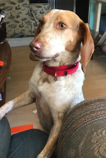 Khloe is a redtick beagle and American foxhound mix available for adoption through Beagles and Buddies. (Courtesy photo)