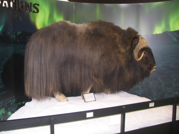 A muskox display at the Victor Valley Museum? Absolutely! (Photo by Trevor Summons)