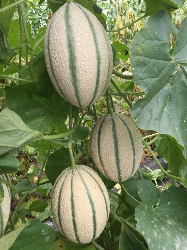 These melons are growing on a trellis. (Photo courtesy everythingaboutgarden.blogspot.com)