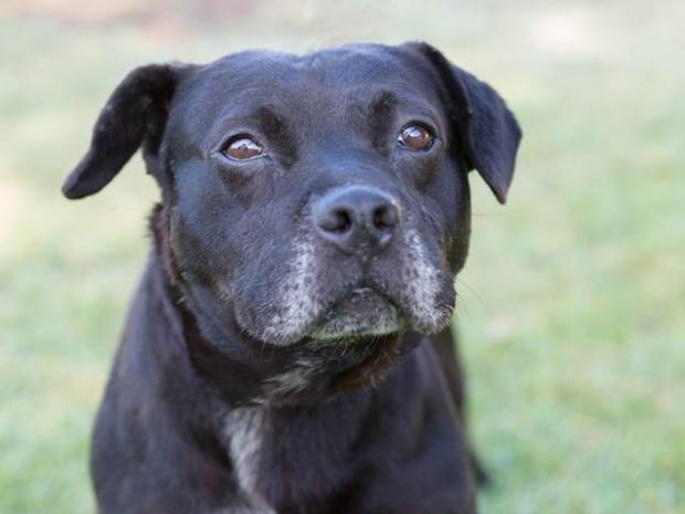 Louis is a 7-year-old Lab mix looking for a new home. (Courtesy photo).