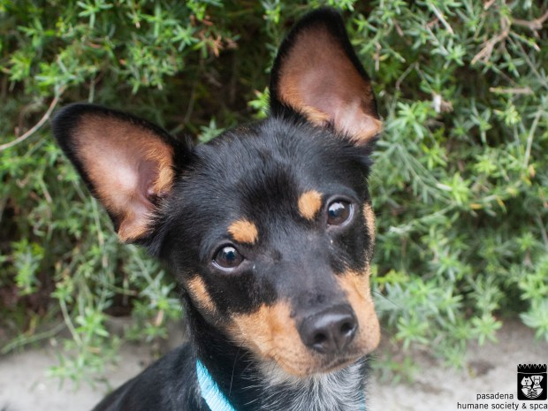 Max is a miniature pinscher available for adoption. (Courtesy the Pasadena Humane Society)