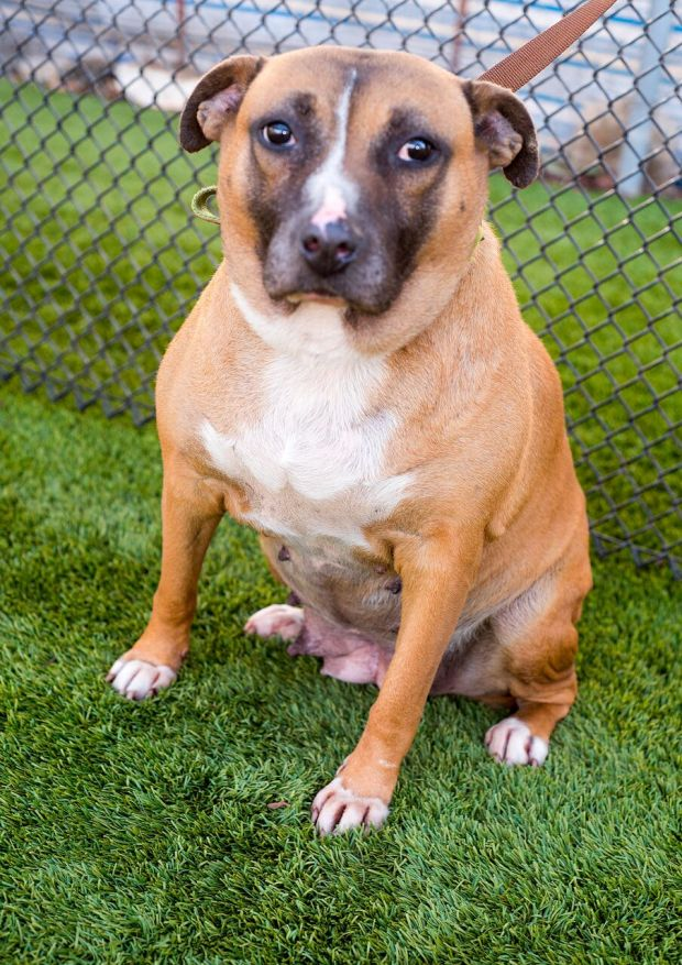 Sweet Potato, a 5-year-old female American terrier, is available for adoption. (Courtesy photo)