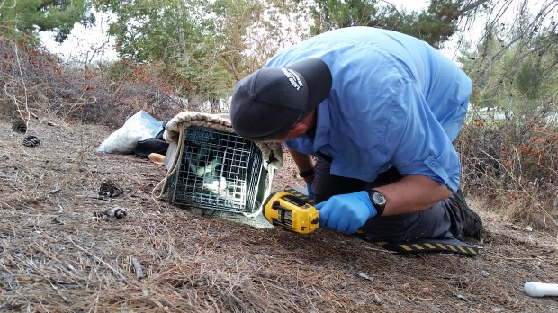 Ted Stankowich checks on his research subject, a sedated skunk. (Photo courtesy of Ted Stankowich)