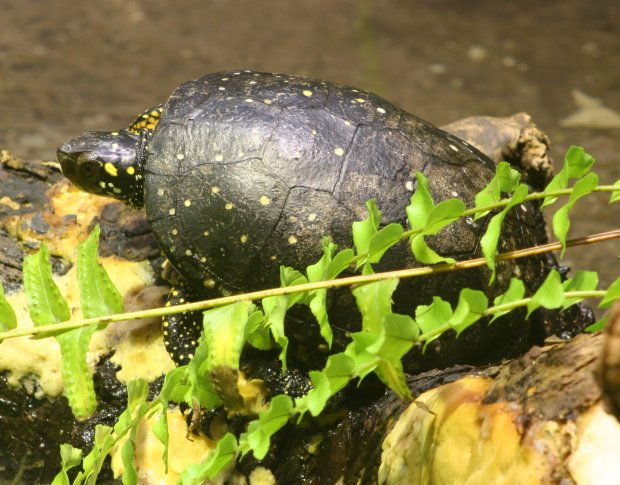 Two Chinese flight crew members are charged with attempting to smuggle U.S. turtles, some of the spotted variety, through LAX. The turtles apparently command high prices in Asia. Above, a spotted turtle is seen at the Buffalo Zoo in a 2007 photo by Dave Pape. (Photo is released in the public domain via Wikimedia Commons)