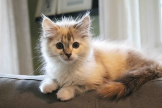 Krissy, a longhaired 3-month-old cat is available for adoption through Lifeline for Pets. (Courtesy photo)