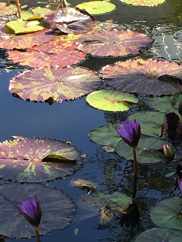 Variegated lily pads at the Skirball Cultural Center in Los Angeles (Photo by photo by Lois Siskin)