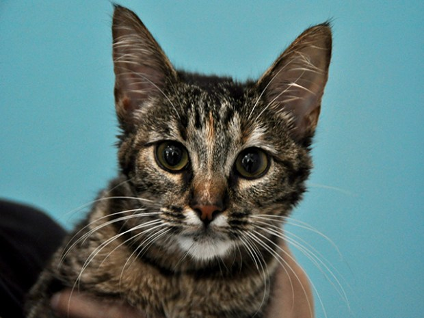 Rosie (No. 18-04790) is a 6-month-old cat available for adoption at the spcaLA in Pico Rivera. (Courtesy photo)