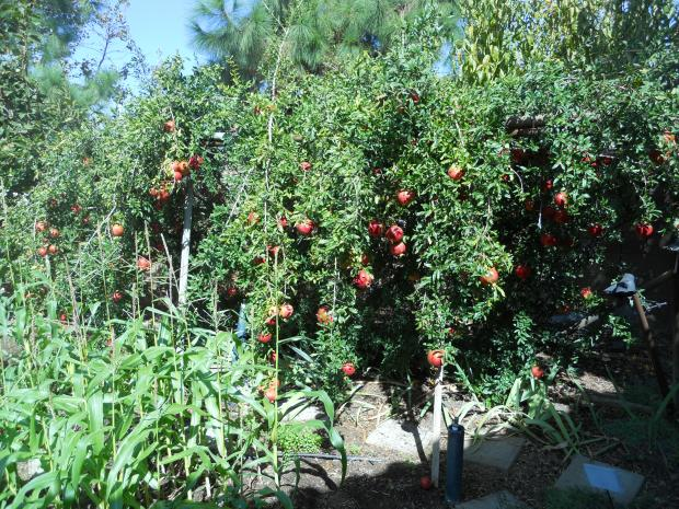 Gardening: What you need to know about growing pomegranates in Southern California