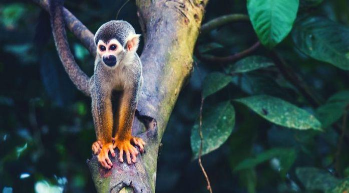 Scimmia Leticia Amazzonia colombiana Isla de los monos