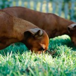 Dogs Nibbling In The Grass