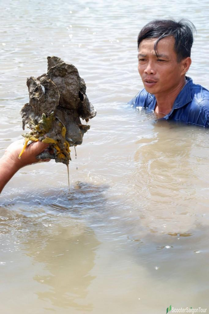 Catching Oyster In Mekong Delta 2