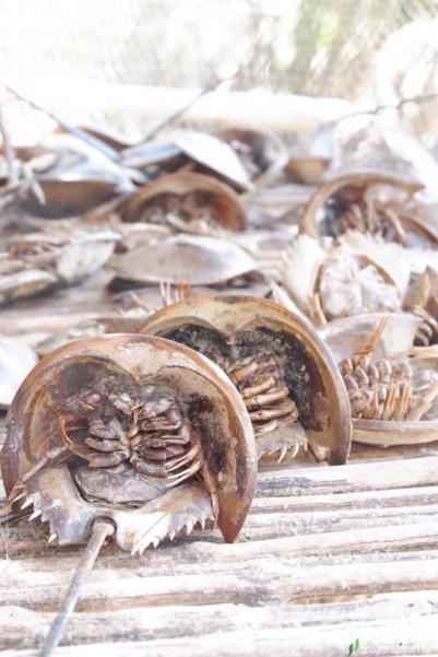Tri Spine Horseshoe Crab