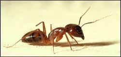 """""""Ant portrait."""" Creative commons licensed on Flickr by """"binux."""""""