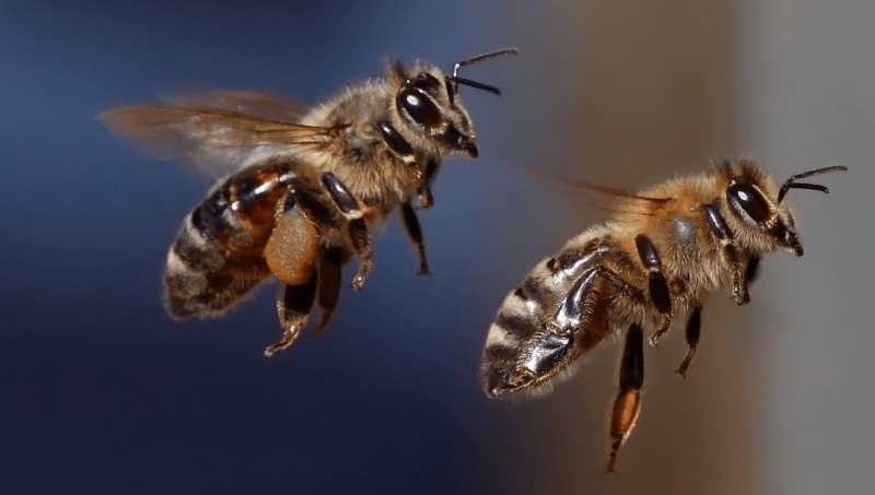 Bee pair flying