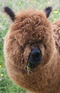 Benjamin - Male Alpaca