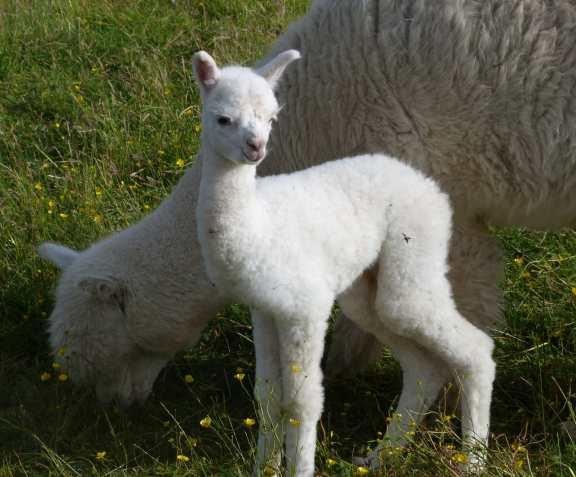 Baby Alpaca Daisy