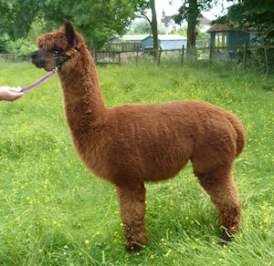 The Fox - Male Alpaca