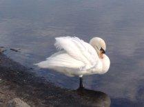 Swan Ruffling