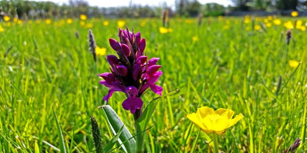 Northern Marsh Orchids (Dactylorhiza purpurella) and Buttercups
