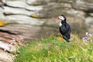 "Photo of a Puffin surveying the geo around Wester Clett, ""Puffin Island"""