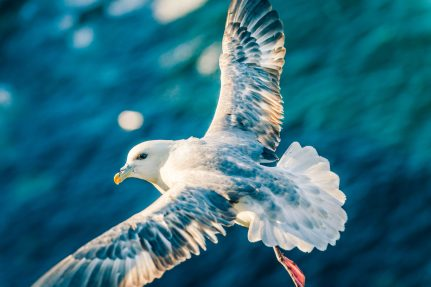 A seagull in flight at Troup head, on the Fraserburgh coast. - VisitScotland / Discover
