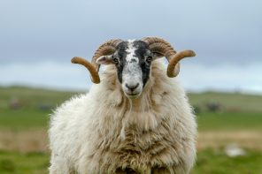 Sheep on South Uist, Outer Hebrides. Picture Credit: P.Tomkins / VisitScotland