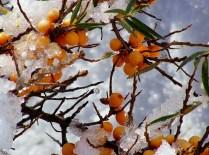 Snowy butkthorn, by Allan Tunnock