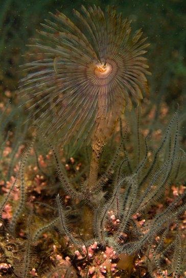 Peacock worm on maerl bed, © Marine Scotland/Graham Saunders