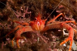 A rugose squat lobster in a maerl bed, © SNH/GrahamSaunders