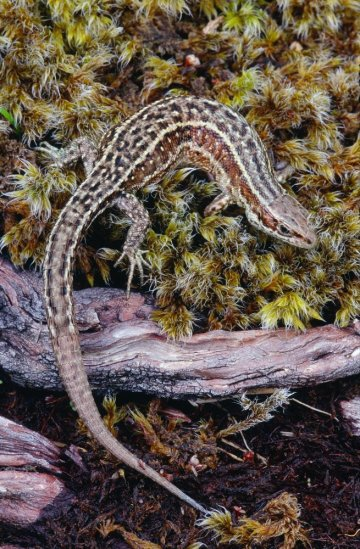 Common Lizard. ©Laurie Campbell/SNH