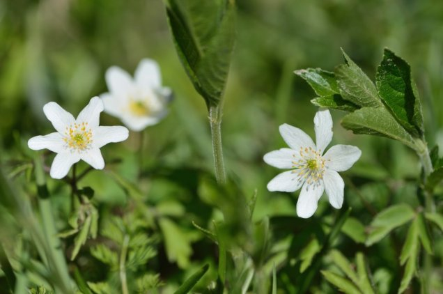 Wood anemones at Weem Meadow SSSI. ©Lorne Gill/SNH