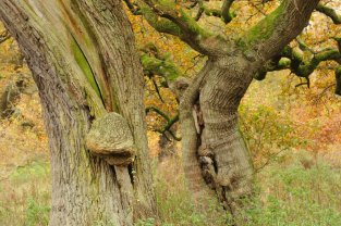 A gall on the Cadzow Oaks. ©Lorne Gill/SNH/2020VISION