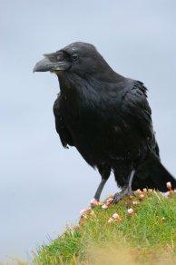 Raven. © Lorne Gill/SNH