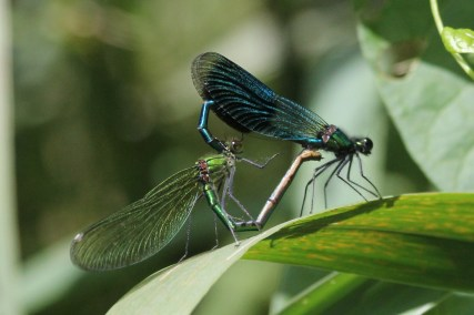 Banded Damoiselle - the male has the classic black band
