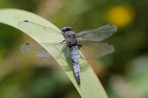 Scarce chaser - could this species now be breeding at Scotney?