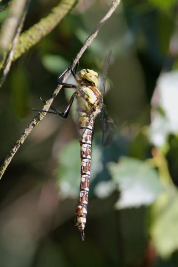 Southern Hawker (female) - hunts well away from water including in woodlands clearings