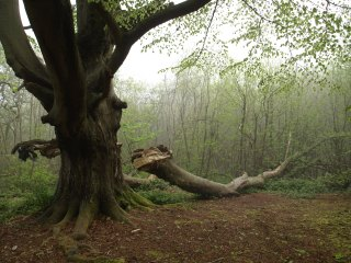 This is the elephant beech as it was in 2014. Photo by N. Petry.
