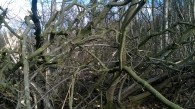The Beech limbs came down on several Sweet Chestnut tree and made a bit of a tangle!