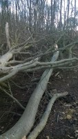Limbs of the Beech now spread on the woodland floor.