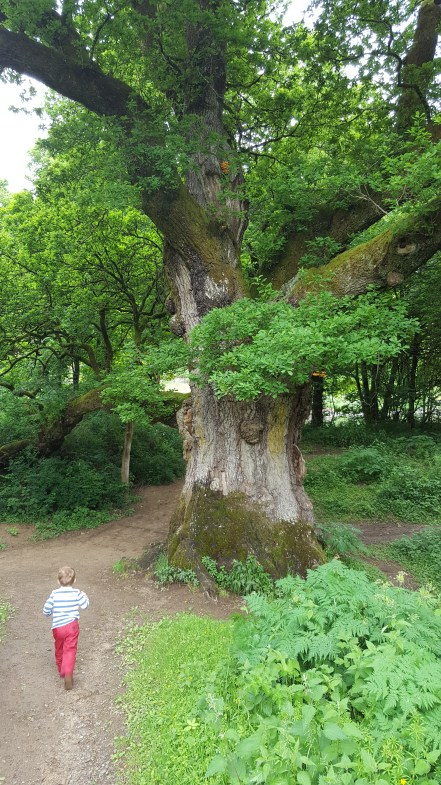 Found it! The Birnam oak