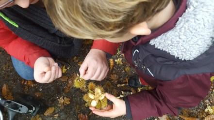 Examining horse chestnuts