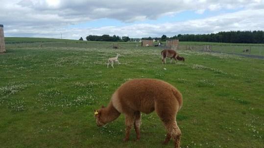 A baby alpaca (ahhhh)