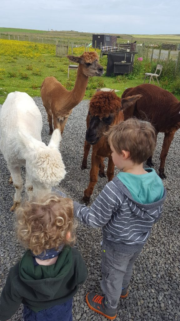 Meet the Animals in Scotland - Highland Cow, Shetland Pony, Red Deer, Lambs & Reindeer