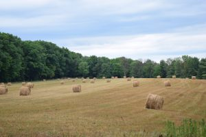 Hay rolls in a field after the rain