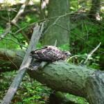 A small hawk sitting on a log