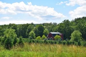 Christmas tree farm and barn