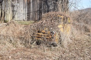 Old truck covered in vines behind the barn at the end of Kennedy Rd