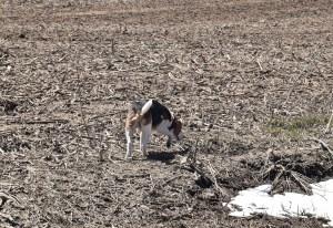 Farm dog sniffing through a field along Smith Rd