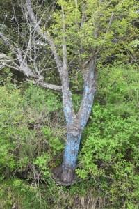 Blue tree on Jackson Rd